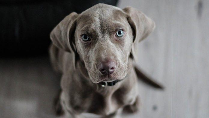 Enfermedades cardicas en perros