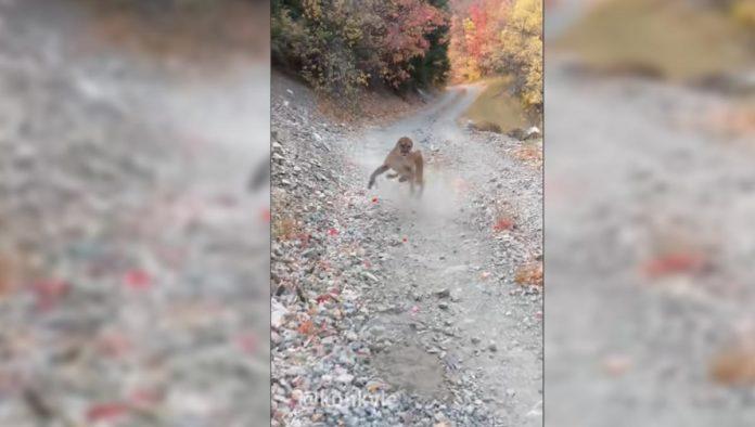 Puma persigue a montañista durante 6 minutos (VIDEO)
