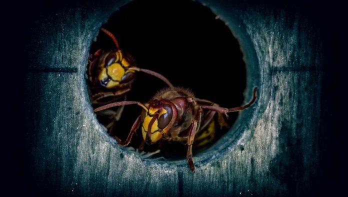 Transforman veneno de avispa como antibiótico contra bacterias multirresistentes