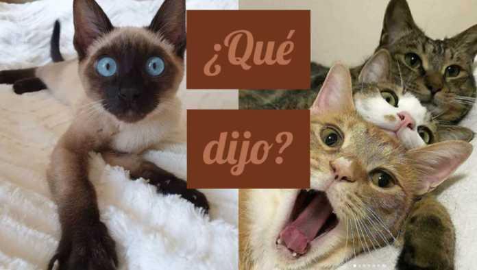 MeowTalk, la app que traduce maullidos de gatos