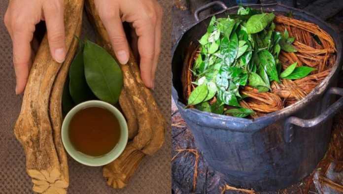 Plantas tradicionales