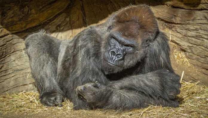 Uno de los gorilas de San Diego con COVID-19