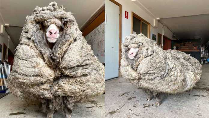 Baarack, la oveja sin trasquilar