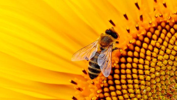 Las abejas y su labor fundamental en los cultivos del mundo