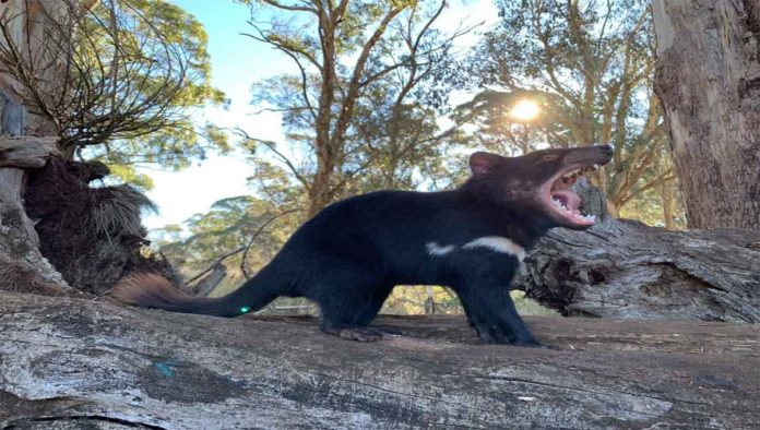 Uno de los demonios de tasmania
