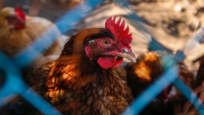 Pollo con gripe aviar