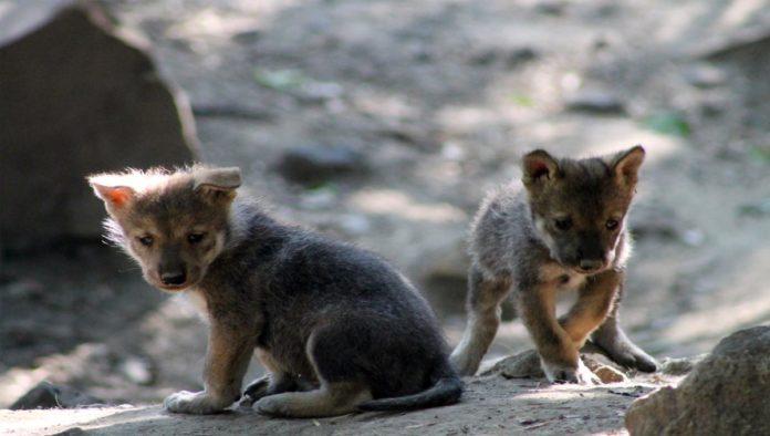Cachorros de lobos mexicanos