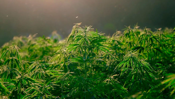 ¿Cómo tramitar un permiso para consumo individual de marihuana?