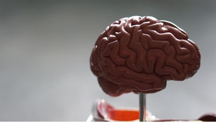 Maqueta de cerebro
