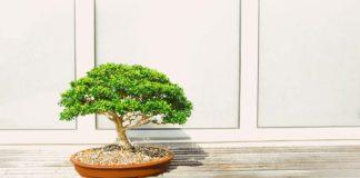 Planta Bonsai