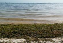 En 2021 se podría superar marca en arribo de sargazo a costas mexicanas, alerta IPN