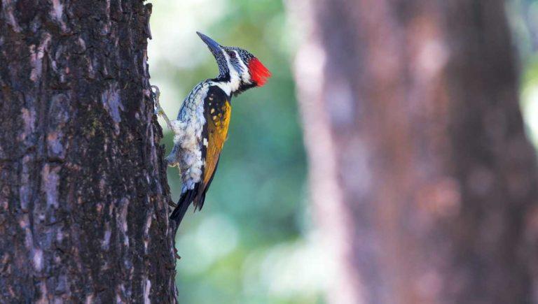 EU declara extinto al pájaro carpintero y otras 22 especies